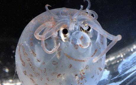 "Kalmaras-paršelis (angl. – ""The Piglet Squid"", lot. – ""Helicocranchia"") ©totallytop10.com"