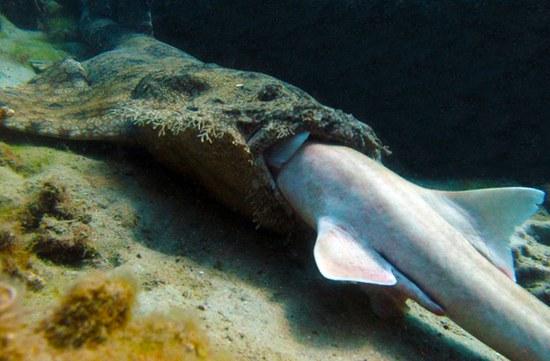Kutuotasis ryklys rija bambukinį ryklį ©Daniela Ceccarelli
