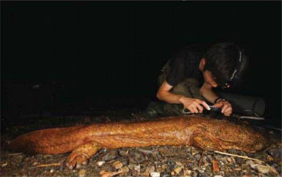 Nemirtinas grybelis rastas ant gigantiškų salamandrų Japonijoje.