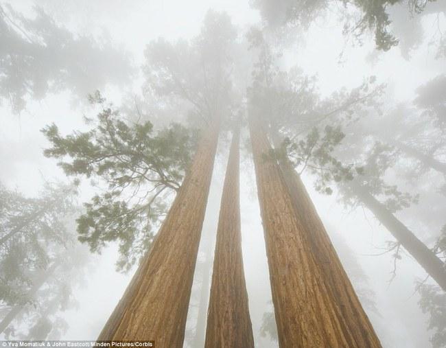 Medžiai-titanai.