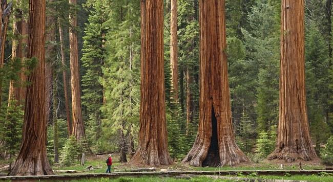 Sekvojų giraitė. Daugelis šių įstabių medžių buvo negailestingai iškirsti XIX a., vos juos atradus.