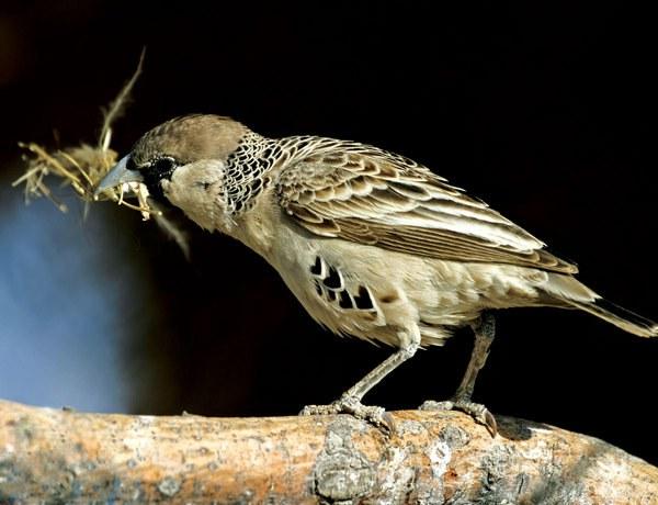 Paukštis audėjas (Philetairus socius)  ©Christian Heinrich/FLPA