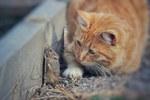 Kodėl katės žaidžia su savo grobiu? Tai nėra tiesiog žaidimas