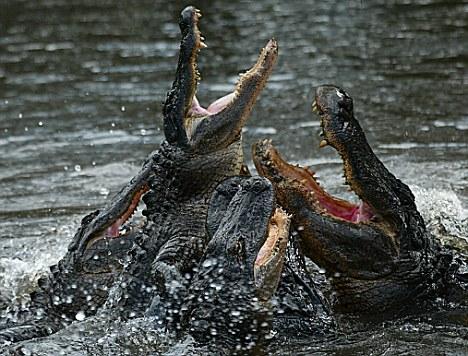 prekybos sistemos aligatorius