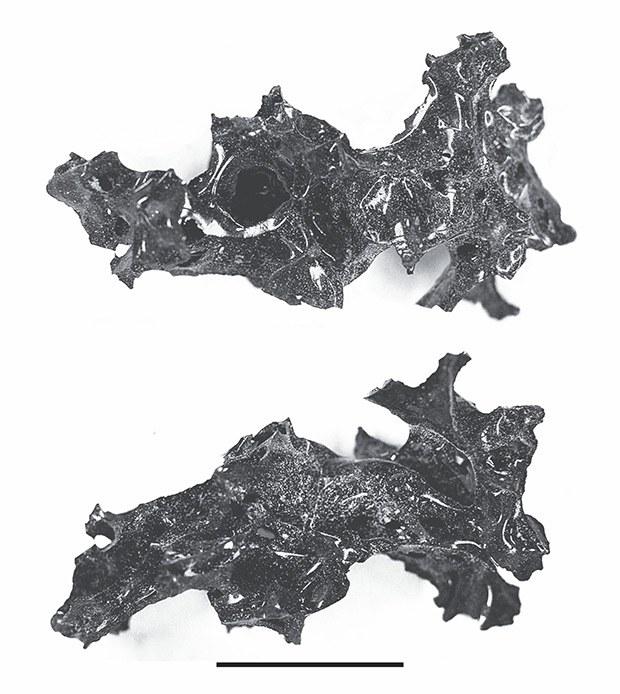 Juoda stikliška masė Vezuvijaus išsiveržimo  vietoje — smegenys
