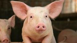 kiaulės širdies valgymo nauda sveikatai